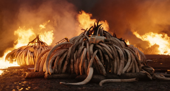 Elephant Tusk Burn, Nairobi National Park, Kenya. Photo courtesy of Anthropocene Films Inc. © 2018